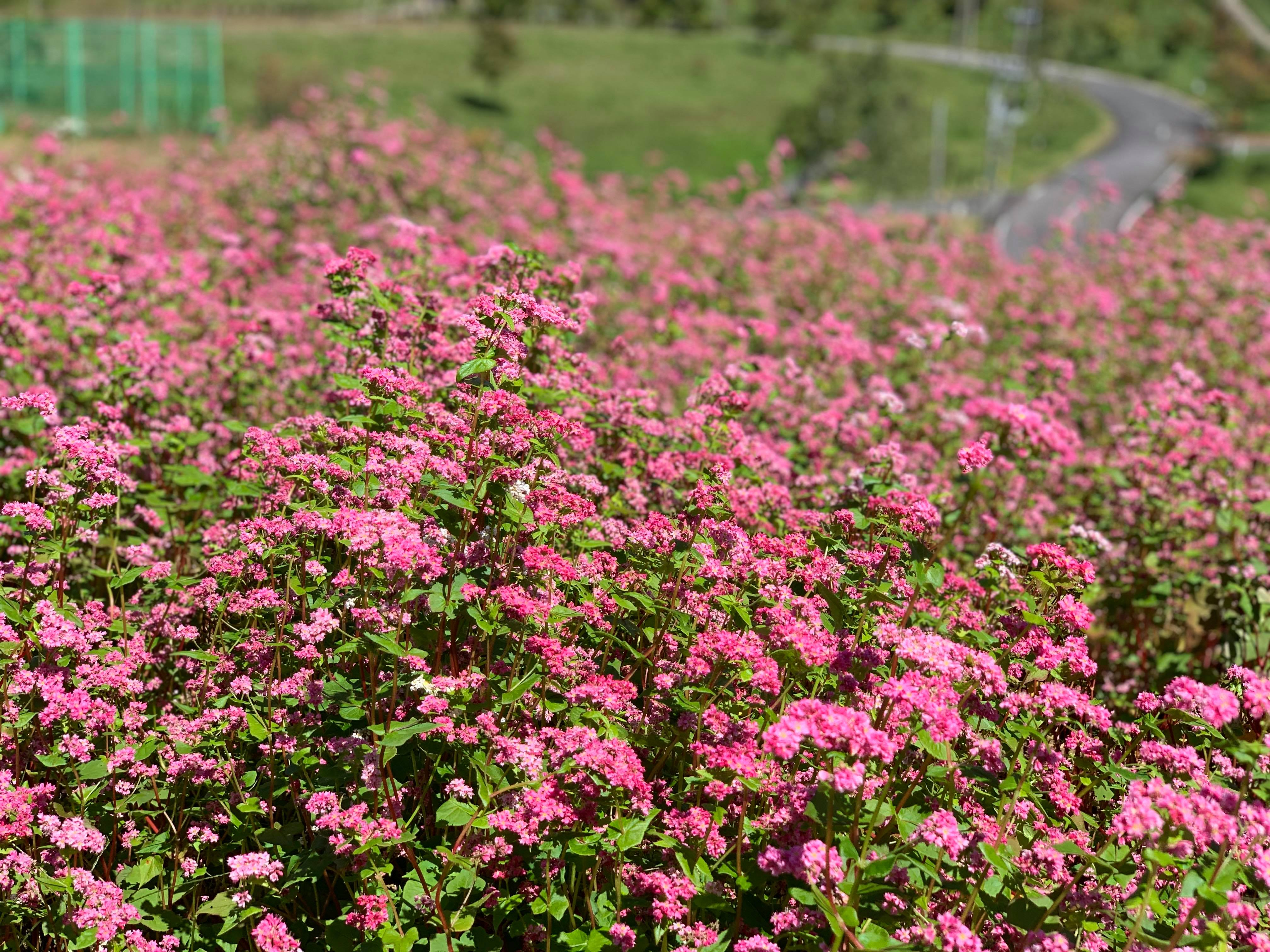 赤ソバの花 グリーンパーク都路
